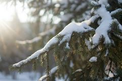 Fir tree with the snow on its branches stock photos