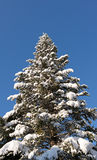 Fir tree with snow on limbs Royalty Free Stock Photography