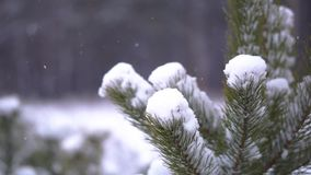 Fir tree in the snow. Snowfall on the background stock footage