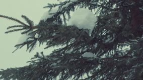 Fir tree in the snow, snowfall. stock footage