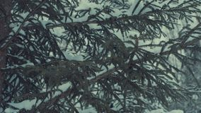 Fir tree in the snow, snowfall. Fir tree in the snow. Snow falling from the branches, close up 4K stock footage