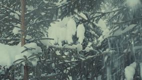 Fir tree in the snow, snowfall. stock video