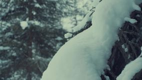 Fir tree in the snow, snowfall. stock video