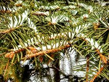 Fir tree in snow Stock Photography