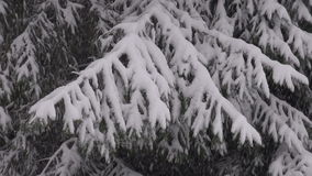 Fir tree during snow storm. On winter day stock video footage