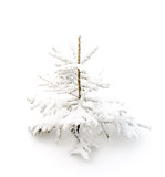 Fir tree in the snow on white background. Real small fir tree in the snow on pure white background royalty free stock image
