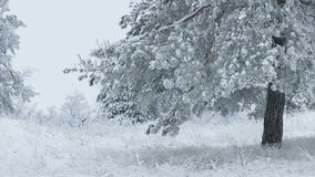 Fir tree in snow wild forest Christmas winter. Fir tree  in snow wild forest Christmas winter branch snowing stock video footage