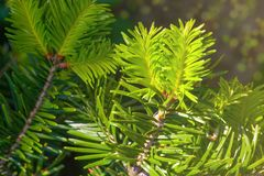 Fir tree spruce brunch close up in Sun light. Shallow focus. Flu stock photography