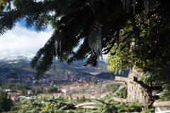 Stalactite formed on a fir tree with a mountainous village blurred in the background. A fir tree with a stalactite formed on the branch during winter season. In royalty free stock photo