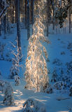 Fir-tree stands in a ray of sunlight. Fir-tree in the snow-covered forest stands in a ray of sunlight Royalty Free Stock Photos