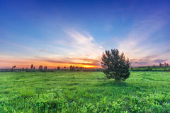 Fir-tree in summer field Stock Photography