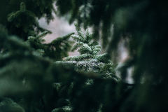 Fir tree in sunlight Royalty Free Stock Photography