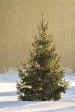 Fir tree sunlit in winter Royalty Free Stock Image