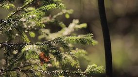 Fir tree at sunny day. In forest stock video footage