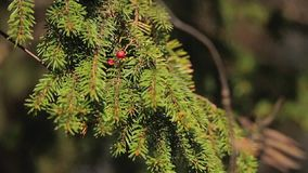 Fir tree at sunny day. In forest stock video