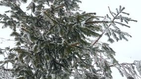 Fir-tree sways in the wind on top of a snowy mountain stock video footage