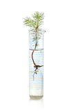 Fir tree in test tube Royalty Free Stock Images