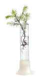 Fir tree in test tube Royalty Free Stock Photo
