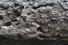 Fir tree texture Stock Image