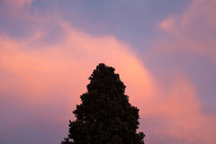Fir tree tip against a pink-orange cloud Stock Image