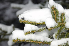 Fir-tree in to snow Royalty Free Stock Photos