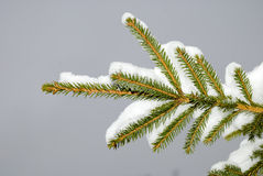 Fir-tree in to snow Royalty Free Stock Images