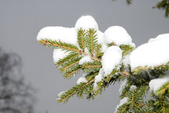Fir-tree in to snow Stock Image