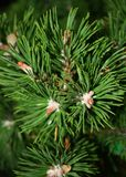 Fir tree top Stock Photo