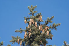 Fir-tree top with cones on branches isolated Stock Photography
