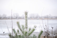 Fir-tree top with ice and snow, winter nature background Stock Photos