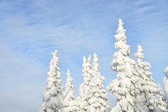Fir tree tops covered by white snow with blue cloudy sky at background, winter beautiful landscape Stock Images