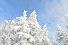 Fir tree tops covered by white snow with blue cloudy sky at background, winter beautiful landscape Royalty Free Stock Photos