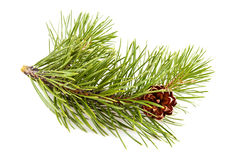 Fir-tree twig Royalty Free Stock Images