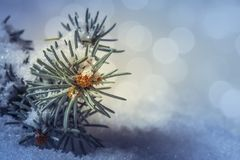 Fir tree twig in bud covered by snow. Detail of fir tree twig in bud covered by snow with blurred light sparkles in background with copy space, Shallow depth of Stock Photography