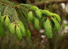 Fir-tree twig Royalty Free Stock Photos