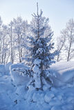 Fir tree under hoarfrost in snow field in winter season Royalty Free Stock Images