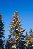 Fir-tree under a snow. Stock Images