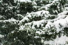 Fir tree under snow Stock Photography