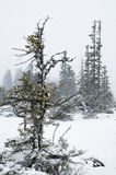 Fir tree under snow in Alps Stock Image