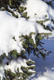 Fir tree under snow Royalty Free Stock Photography