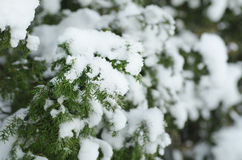Fir tree under the snow Royalty Free Stock Photography