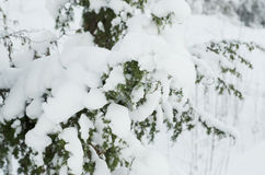Fir tree under the snow Royalty Free Stock Photo