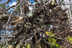 Fir tree uprooted Royalty Free Stock Image