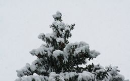 Christmas tree in snow coat and own balls winter fairy tale. The fir tree was covered with snow as if dressed in a white coat, and decorated itself with natural Royalty Free Stock Image