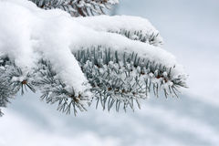 Fir tree in winter Stock Image