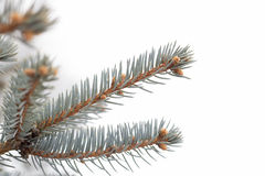 Fir tree winter branches. Fir tree closeup branches on white background Royalty Free Stock Photos