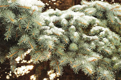 Fir tree. Winter, fir tree brunches with snow Royalty Free Stock Photos