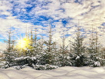 Fir-tree in the winter forest Stock Image