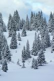 Fir tree in winter, Jura mountain, Switzerland Stock Photography