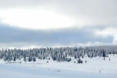 Fir tree in winter, Jura mountain, Switzerland Royalty Free Stock Image